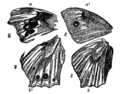 Descent of Man - Burt 1874 - Fig 53.png