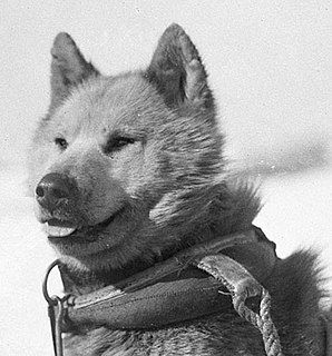 Dogs of the Australasian Antarctic Expedition