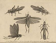 Locust - Wikipedia