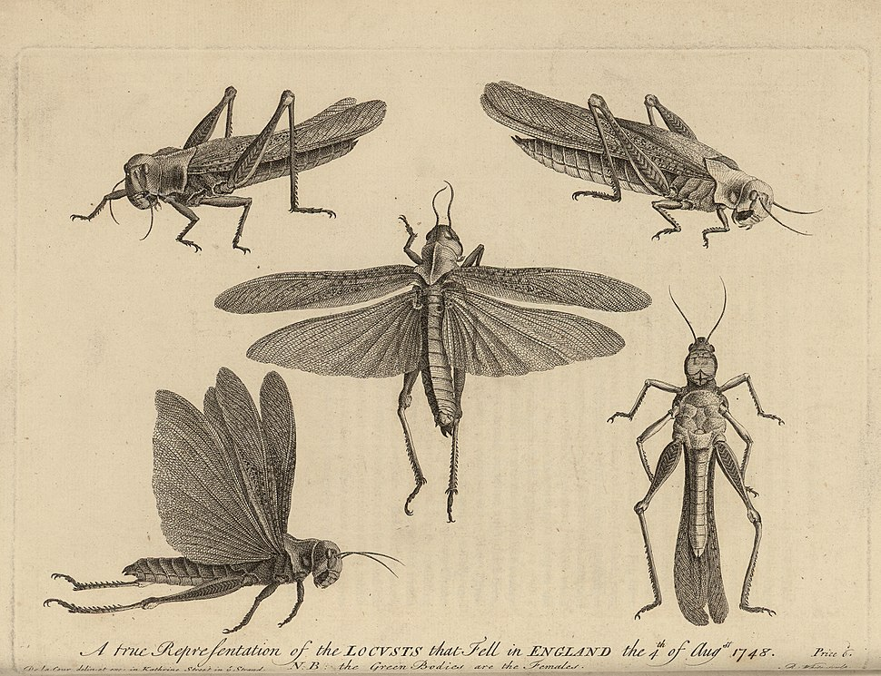 Diagrams of Locusts which swarmed over England in 1748
