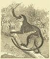 DianaMonkey Darwin.jpg