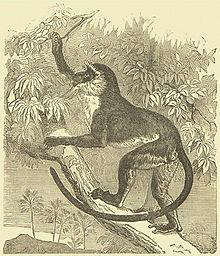 http://upload.wikimedia.org/wikipedia/commons/thumb/3/3c/DianaMonkey_Darwin.jpg/220px-DianaMonkey_Darwin.jpg