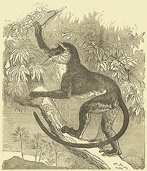"Guenon - Roloway monkey Darwin's ""Descent of man"" (1872)"