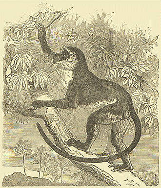 """Guenon - Roloway monkey Darwin's """"Descent of man"""" (1872)"""
