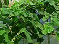 Dioscorea esculenta 001.JPG