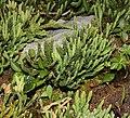 Diphasiastrum alpinum plant (06).jpg