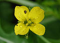 Diplotaxis tenuifolia, wilde rucola bloem.jpg