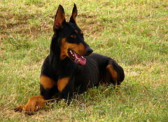 Doberman Pinscher down.jpg