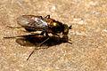 Dolichopus.griseipennis.-.lindsey.jpg