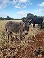 Donkey in Wasita Libya.jpg