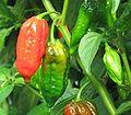 Dorset Naga Peppers.jpg