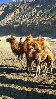 Double-humped camels.jpg