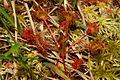 Drosera rotundifolia r3.JPG