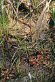 Drosera tokaiensis f1 in Imō Wetland 2011-08-24.jpg