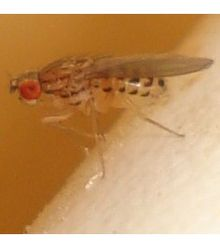 Drosophila busckii 01 cropped.jpg