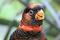 Dusky Lory - Woburn Safari Park (4558928640).jpg
