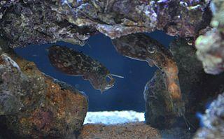 <i>Sepia bandensis</i> species of mollusc
