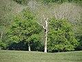 Dying tree - geograph.org.uk - 422025.jpg
