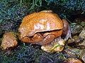 Dyscophus guineti (1).jpg