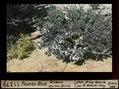 ETH-BIB-Puerto Blest, niederer Myrten-Busch-Dia 247-11379.tif