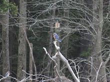 Bluebird sitting on a branch in the woods