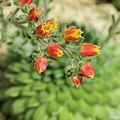 Echeveria setosa-IMG 1624.jpg