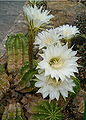Echinopsis eyriesii HabitusFlowers BotGardBln0806a.jpg