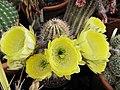 Echinopsis haematantha (1).jpg