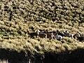 Ecuador lama herd 5931.jpg