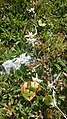 Edelweiss 200817.jpg