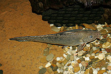 Eel-tail catfish.jpg