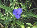 Eendagsbloem bloem (Tradescantia virginiana).jpg