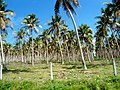 Efate East - Very old coconut plantations - panoramio.jpg
