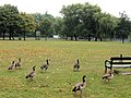 Egyptian Geese on Clapham Common - geograph.org.uk - 1514096.jpg