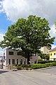 Eiche am Vitiser Hauptplatz 2015-06 NDM WT-066.jpg
