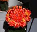 Eilat Botanical garden - red cactus.jpg