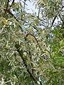 Elaeagnus angustifolia 20050608 860.jpg