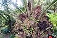 Elaeis guineensis 17zz.jpg