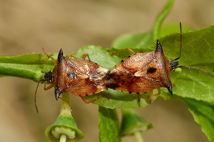 Elasmucha ferrugata in copula (Hemiptera, Acanthosomatidae) Locality: Fange de la Crépale, Lierneux, Belgium