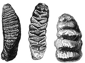 Molar (tooth) - Lophodont molars of Elephas (left) and Loxodonta (center), compared to the non-lophodont Mastodon (right)
