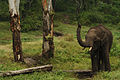 Elephant in Nagarhole.jpg