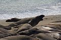 Elephant seals, Piedras Blancas 16.jpg