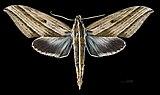 Elibia dolichus MHNT CUT 2010 0 62 Kanchanaburi Thailand male dorsal.jpg