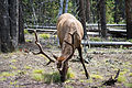 Elk in Yellowstone NP (2).jpg