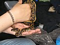 Ellington Barley the pet Ball Python.jpg
