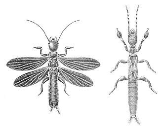 Embioptera - Image: Embia major