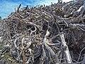 Empilement de souches de pins après désouchage d'une coupe rase 2018 Landes de Gascogne 13.jpg