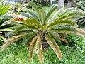 Encephalartos longifolius - Villa Thuret - DSC04827.JPG