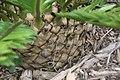 Encephalartos msinganus 3zz.jpg