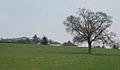 English Oak at Cam Green - geograph.org.uk - 376872.jpg